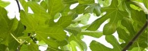 Green Fig & Iris